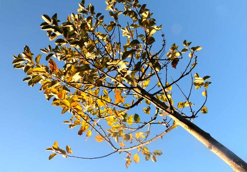 Greffe arbre